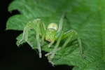 Micrommata virescens